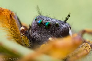 Phidippus-arizonensis-male-closeup